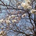 3/27 桜の花
