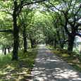 6月の桜堤