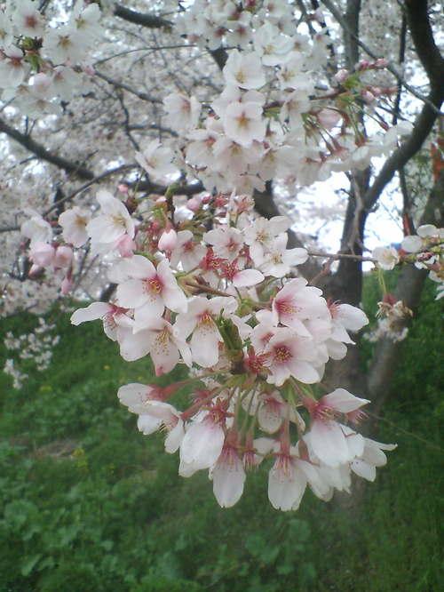 2006年4月7日 権現堂