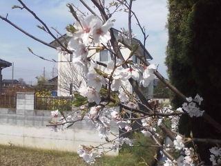 コート脇の桜